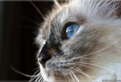 Portrait d'un Birman - [81]