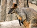 Wallaby - [12]